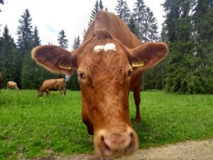 A friendly cow in the Swiss Jura district met in June 2018.